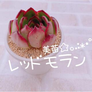 《9》多肉植物 エケベリア 韓国苗 レッドモラン♡♡(その他)
