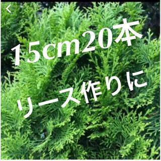 コノテガシワ 20本(その他)