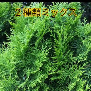 コノテガシワ 観葉植物 リース作り(ドライフラワー)