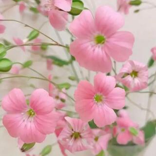 ピンク ❥❥ かすみ草種 サポナリア種  ティースプーン1杯分♡♡(その他)