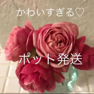 ポット発送B(ᵔᴥᵔ)ミニバラ♡カルーセル♡コルダーナ♡可愛アンティークなお庭♡(その他)