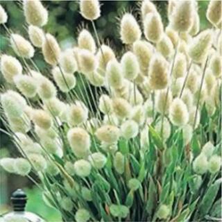 ラグラスバニーテールの種 秋まき種