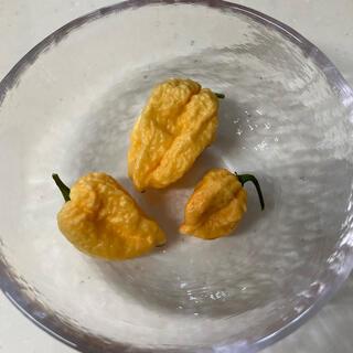 ハバネロ オレンジ 種 無農薬 発芽確認済(野菜)