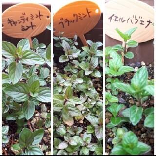 ミント2種類 イエルバブエナとブラックミント 抜き苗セット