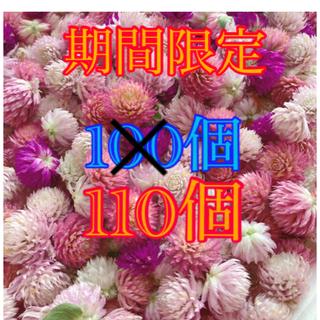 千日紅 ドライフラワー ピンク 100個(ドライフラワー)