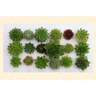 多肉植物 【0630】  センペル18種セット(その他)