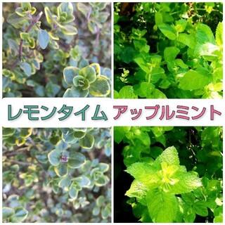 sai様専用 アップルミント&ゴールデンレモンタイム カット苗15本(その他)