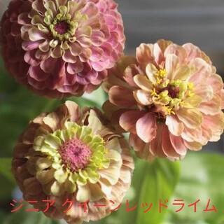 ジニア  クイーンレッドライム  花種(その他)