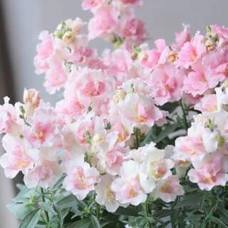 ふりふり♡かわいいっ♡キンギョソウ トゥイニー アップルブロッサム 花 種子 種
