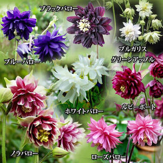 西洋オダマキ種子 色々な種類色々なカラーをミックス♪初心者にもオススメ♡花 種