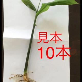みょうが苗  10本(野菜)