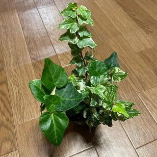 ヘデラ ハレーボブ D 観葉植物