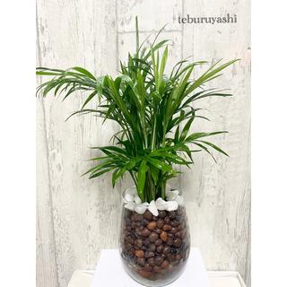 テーブルヤシ 観葉植物 ハイドロカルチャー 大きめ(ドライフラワー)