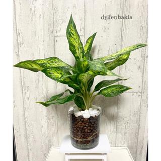 ディフェンバキア 観葉植物 ハイドロカルチャー 大きめ(ドライフラワー)