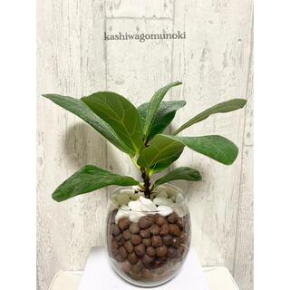 カシワゴムノキ フィカス・リラータ 観葉植物 ハイドロカルチャー(ドライフラワー)