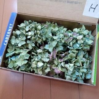 紫陽花 ドライフラワー 濃いグリーンミックス 小房