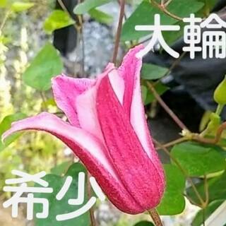 大輪クレマチス 希少ハッピーダイアナ 種子たっぷり50粒以上(その他)