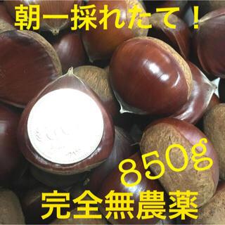 ☆朝一採れ☆無農薬 生栗 Mサイズ850g強 ☆甘い! 虫止め済(フルーツ)