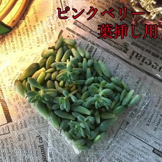 多肉 ピンクベリー 葉挿し用 (その他)