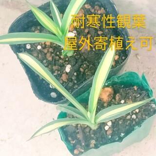 観葉植物 苗(その他)