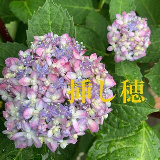 紫陽花 ミカワチドリ 挿し穂2本(その他)