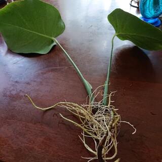 観葉植物 モンステラ苗 1株②小傷あり。