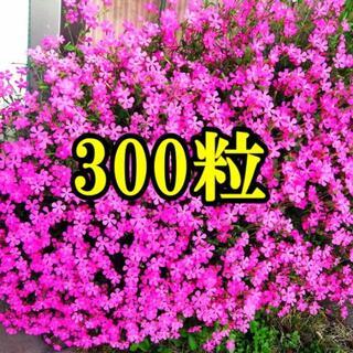 育てやすく丈夫で豪華に咲く  シレネ ピンクパンサー  種 300粒以上    (その他)