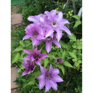 クレマチス 花の種 15粒(その他)
