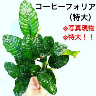 ◆アヌビアス・コーヒーフォリア(特大) #アヌビアスさかな屋 バルテリー
