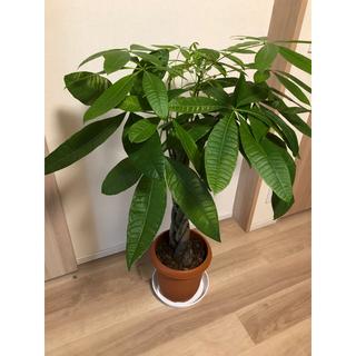 パキラ 8号 観葉植物 インテリア グリーン 植木鉢26cm ねじり 編み込み(プランター)