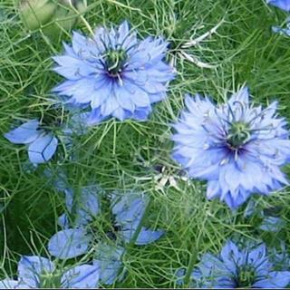 ニゲラ ブルー 種 約100粒(その他)