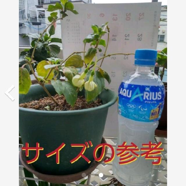 花苗(フクシア八重*ホワイトガロア)株ごと  ハンドメイドのフラワー/ガーデン(プランター)の商品写真