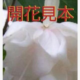 花苗(フクシア八重*ホワイトガロア)株ごと (プランター)