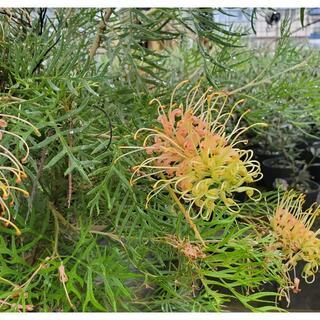 グレビレアピーチアンドクリーム ポット鉢植え苗 オージープランツ ドライガーデン(プランター)