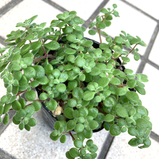 多肉植物✴︎ブロウメアナ 抜き苗(プランター)