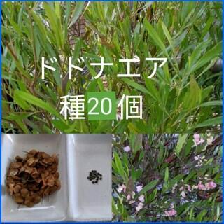 ドドナエア 種 20個 殻つき(その他)