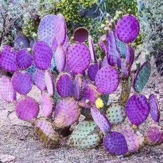 多肉植物 オプンチア サンタリタ ウチワサボテン(その他)