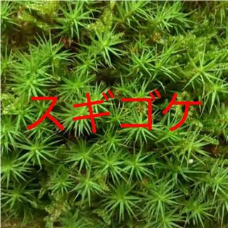 スギゴケ 苔(その他)
