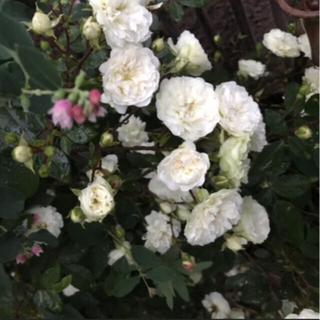 R8 ミニ薔薇 グリーンアイス苗 1鉢 3苗 抜き苗 丈夫  虫寒強  四季咲 (その他)