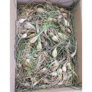 特価!沖縄本島産 島らっきょうの種苗 300本(野菜)