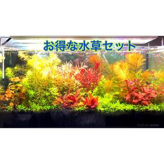 Aqua Design Amano - ネコポス発送 お得な水草水上葉セット 6種 100本以上