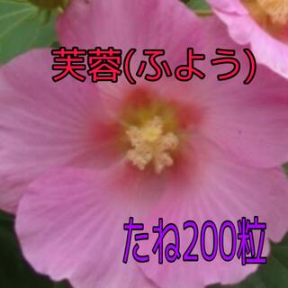 大輪の花 芙蓉 フヨウ 種200粒くらい(その他)