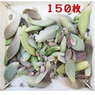 多肉植物 葉挿し 150枚(その他)