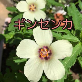 ギンセンカ (銀銭花)  種40粒(その他)
