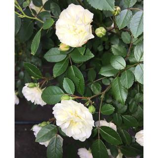 0  ミニバラ グリーンアイス苗 1鉢 抜き苗 丈夫 虫強 四季咲 (その他)