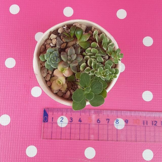 多肉植物☆6種☆3種のオマケつき ハンドメイドのフラワー/ガーデン(プランター)の商品写真