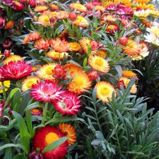 ムギワラギク 麦藁菊 の花色ミックスの種30粒(プランター)