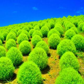 【まんまる育てやすい】コキア☆箒木(ホウキギ) 種 300粒以上!(プランター)