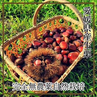 愛媛県産 完全無農薬 採れたて栗1.3kg  大粒多めのミックス(フルーツ)