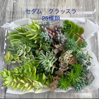 多肉植物 カット苗25種類 セダム クラッスラ(その他)